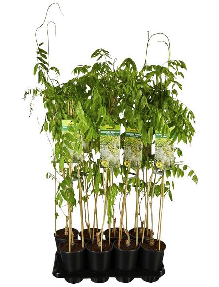 GARTENKRONE Kletterpflanze »Wisteria flo.Longissima Alba«