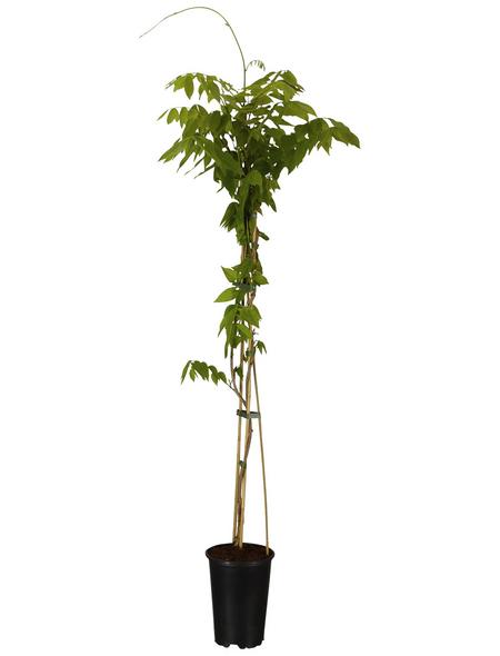 GARTENKRONE Kletterpflanze »Wisteria floribunda Rosea«