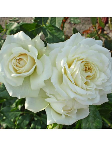 KORDES ROSEN Kletterrose Rosa »Alaska®«