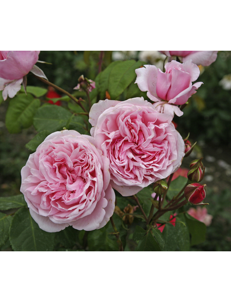 KORDES ROSEN Kletterrose Rosa  »Kiss me Kate®«