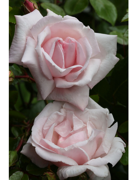 Kletterrose Rosa »New Dawn«