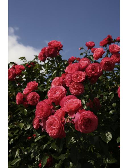KORDES ROSEN Kletterrose Rosa  »Rosanna®«