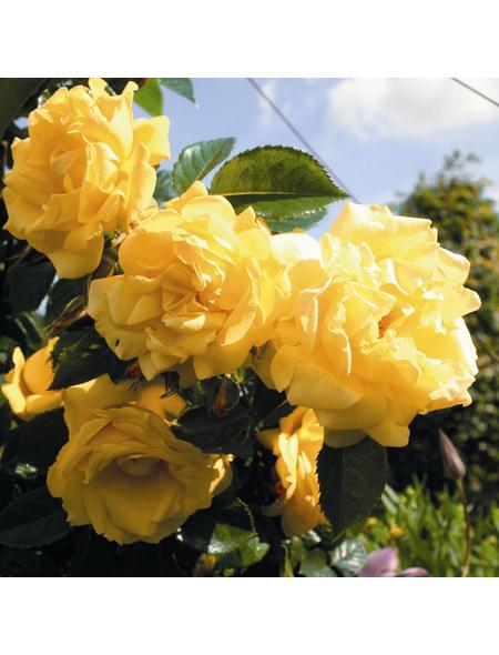 ROSEN TANTAU Kletterrose Rosa x hybrida »Dukat«, Gelb