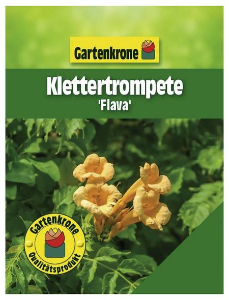 GARTENKRONE Klettertrompete, Campsis radicans »Flava«, gelb, winterhart