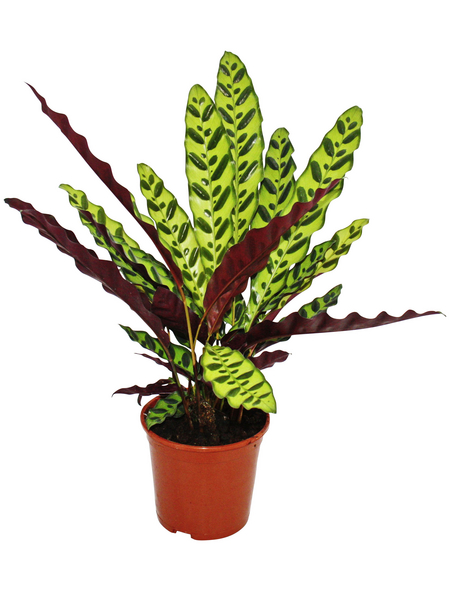 Korbmarante Calathea lancifolia