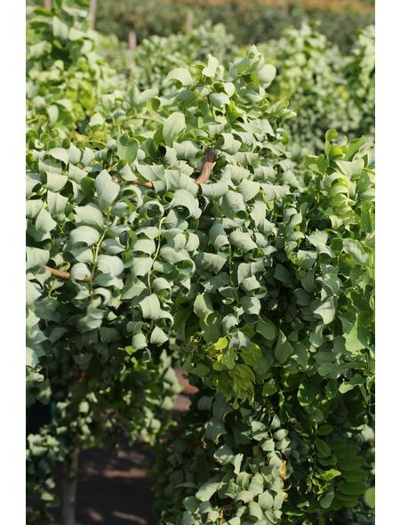 Korkenzieher-Scheinakazie, Robinia pseudoacacia »Twisty Baby«, Blütenfarbe weiß
