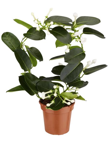 GARTENKRONE Kranzschlinge, Stephanotis floribunda, Blüte: weiß