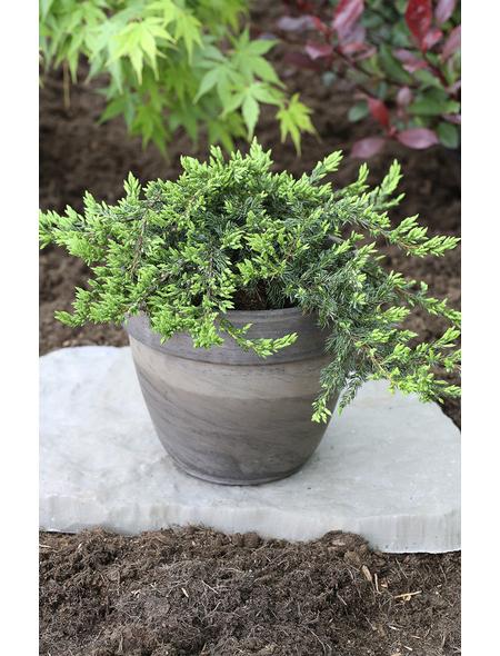 Kriech-Wacholder communis Juniperus »Repanda«