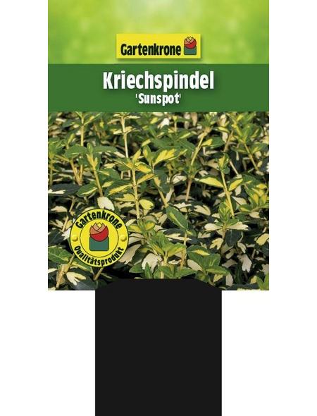 GARTENKRONE Kriechspindel, Euonymus fortunei »Sunspot«, weiß, winterhart
