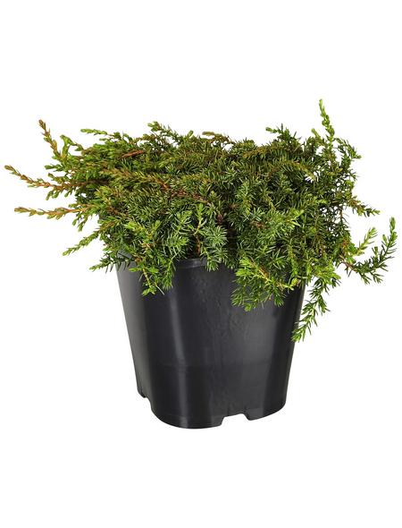 GARTENKRONE Kriechwacholder, Juniperus communis »Green Carpet«, winterhart