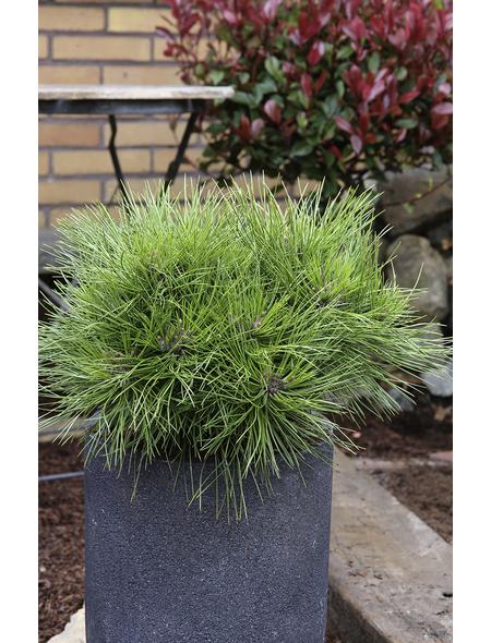 Kugel-Kiefer nigra Pinus »Marie Bregeon«