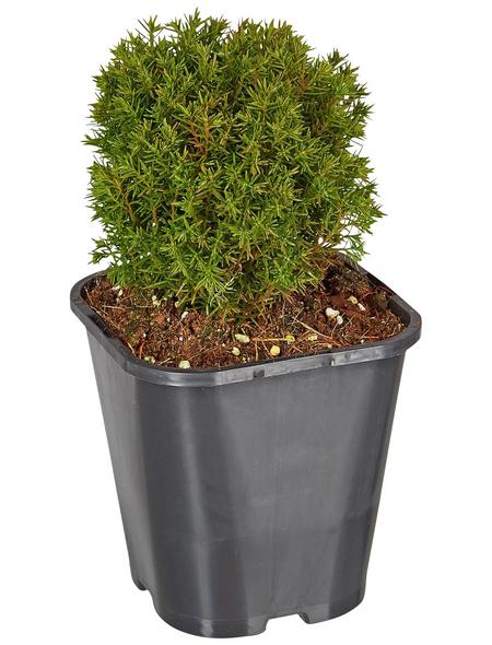 GARTENKRONE Kugel-Lebensbaum, Thuja occidentalis »Teddy«, winterhart