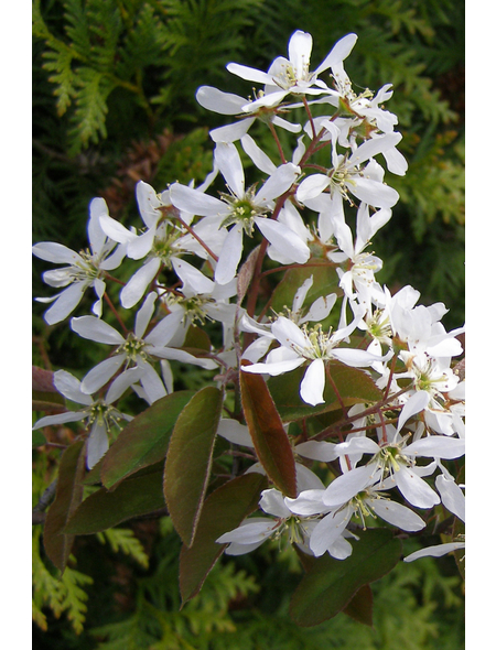 Kupferfelsenbirne, Amelanchier Lamarckii Blüten: weiß, Früchte: schwarz, Frosthart