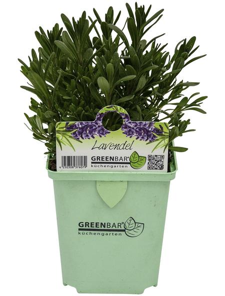 Lavendel, Blüten: blau