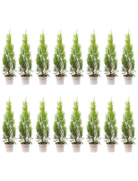 Lebensbaum 16 Stück, Thuja occidentalis »Smaragd«, Lieferhöhe: 20 - 30 cm