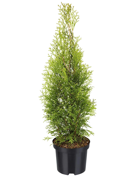 Lebensbaum 200 Stück, Thuja occidentalis »Smaragd«, Lieferhöhe: 80 - 100 cm