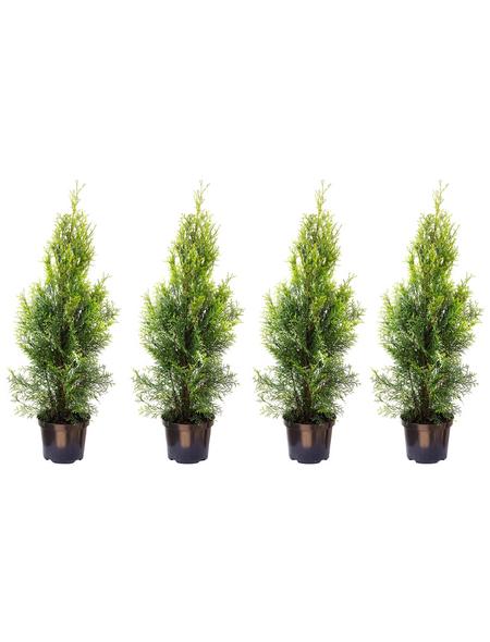 Lebensbaum 4 Stück, Thuja occidentalis »Smaragd«, Lieferhöhe: 60 - 80 cm