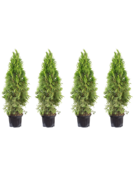 Lebensbaum 4 Stück, Thuja occidentalis »Smaragd«, Lieferhöhe: 80 - 100 cm