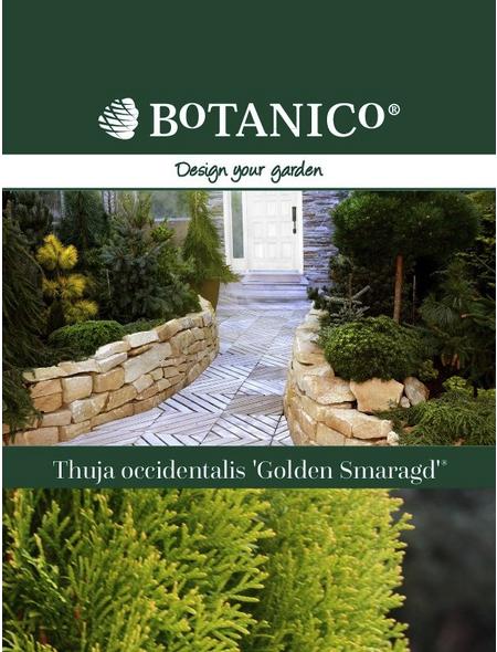 BOTANICO Lebensbaum occidentalis Thuja »Golden Smaragd«