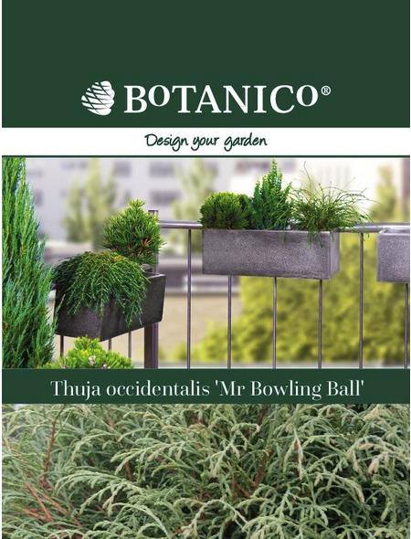 Lebensbaum occidentalis Thuja »Mr. Bowling Ball «
