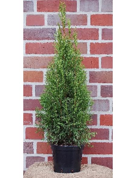 Lebensbaum occidentalis Thuja »Smaragd«