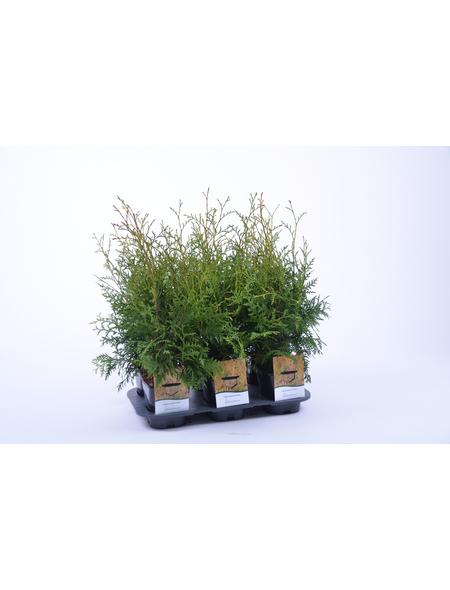 GARTENKRONE Lebensbaum Thuja occidentalis »Brabant«