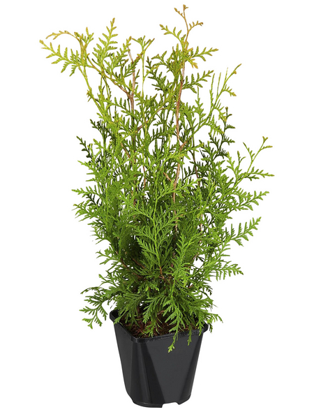 GARTENKRONE Lebensbaum, Thuja occidentalis »Brabant«, winterhart