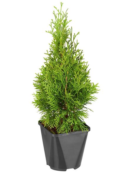 GARTENKRONE Lebensbaum Thuja occidentalis »Smaragd«