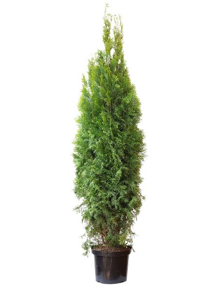 Lebensbaum, Thuja occidentalis »Smaragd«, Lieferhöhe: 140 - 160 cm