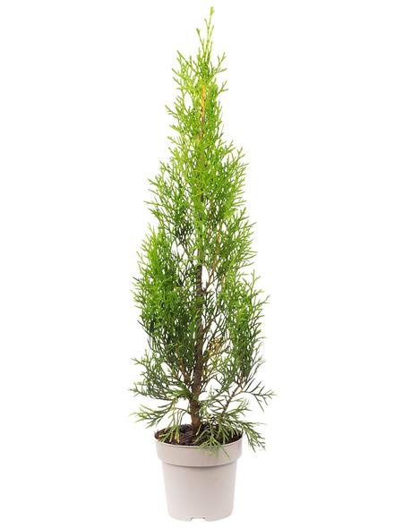 Lebensbaum, Thuja Occidentalis smaragd, Lieferhöhe: 30 - 20 cm