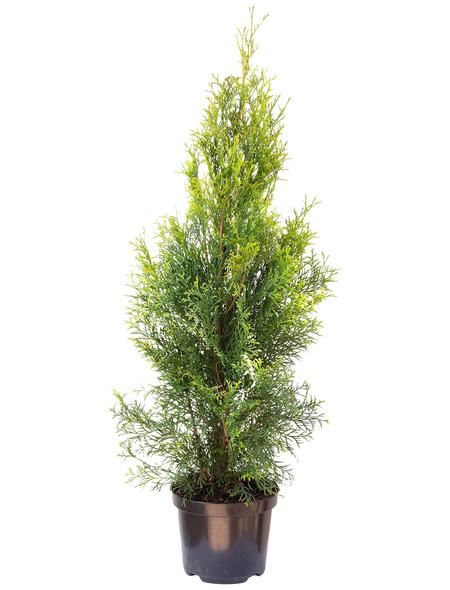 Lebensbaum, Thuja occidentalis »Smaragd«, Lieferhöhe: 60 - 80 cm