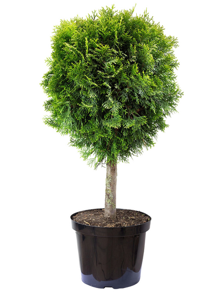 Lebensbaum, Thuja occidentalis »Smaragd«, Lieferhöhe: 75 - 95 cm