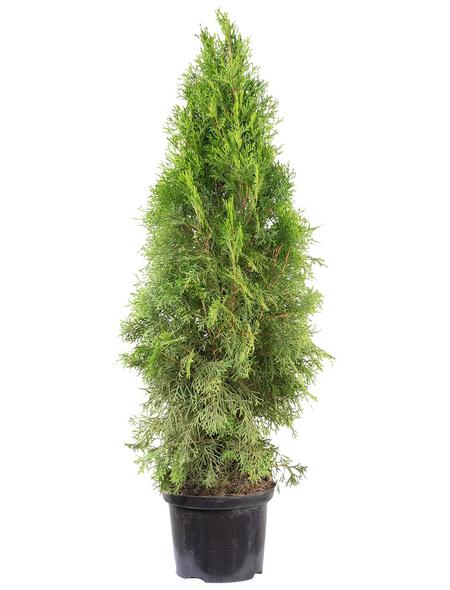 Lebensbaum, Thuja occidentalis »Smaragd«, Lieferhöhe: 80 - 100 cm