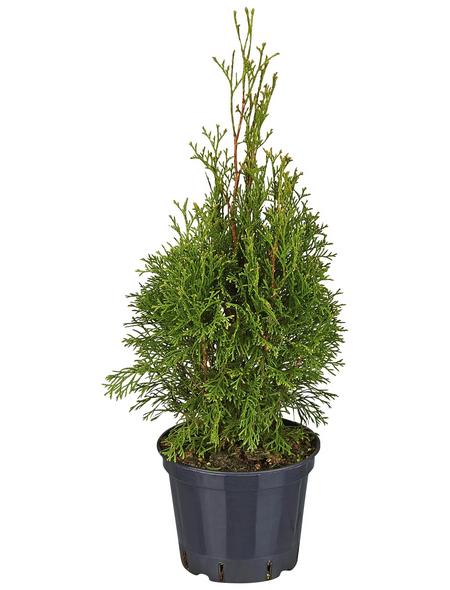 GARTENKRONE Lebensbaum, Thuja occidentalis »Smaragd«, winterhart