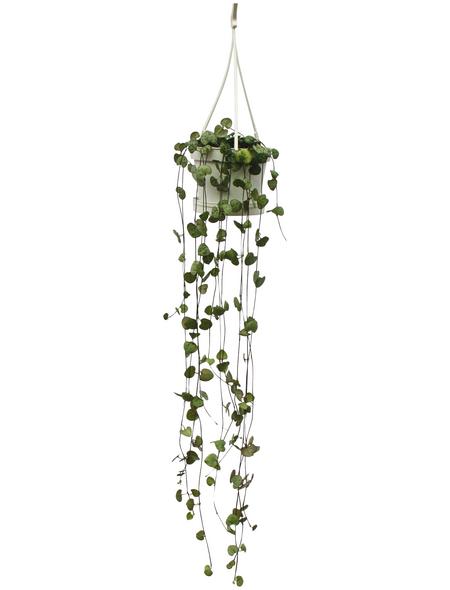 Leuchterblume Blattfarbe: grün