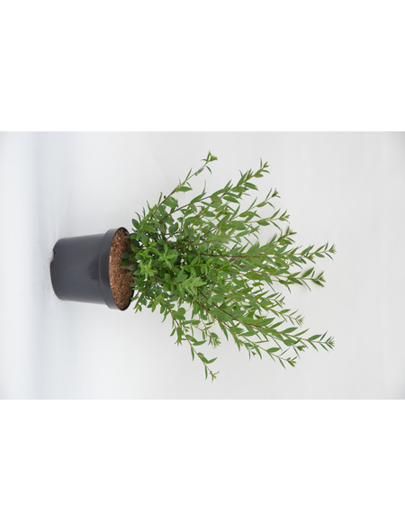 GARTENKRONE Liguster, Ligustrum vulgare »Atrovirens Select«, weiß, winterhart