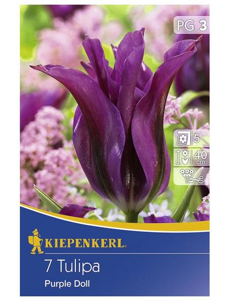 KIEPENKERL lilienblütige Tulpe x Hybrida Tulipa