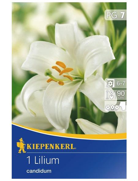 KIEPENKERL Lilium Candidum, Weiß, 1 Blumenzwiebel