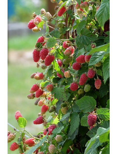 GARTENKRONE Loganbeere, Rubus loganobaccus  »Tayberry Medana« Blüten: creme, Früchte: rot, essbar
