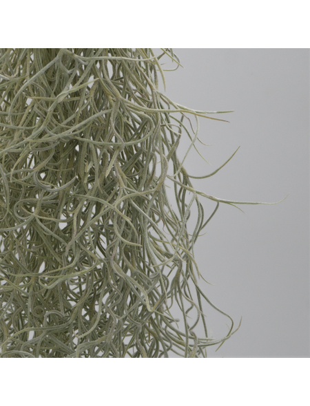 Louisianamoos | Luftnelke Tillandsia usneoides