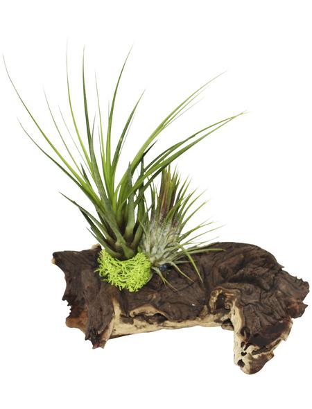 Luftnelke 2 Pflanzen auf Mopani-Wurzel Tillandsia