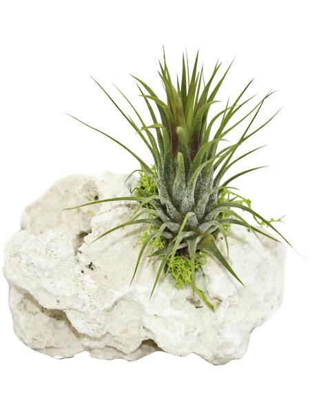 Luftnelke 2 Pflanzen auf Sanisbar-Rock, Tillandsia