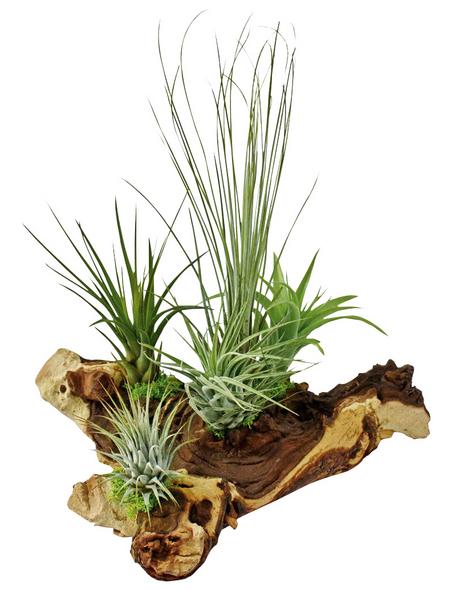 Luftnelke 5 Pflanzen auf Mopani-Wurzel Tillandsia