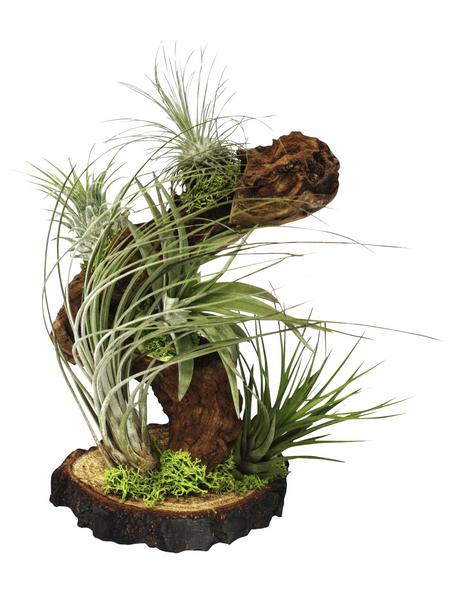 Luftnelke 5 Pflanzen auf Wurzelbaum Tillandsia