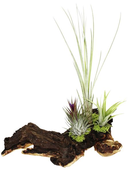 Luftnelke auf Mopani-Wurzel, Tillandsia tillandsia, 3 Pflanzen