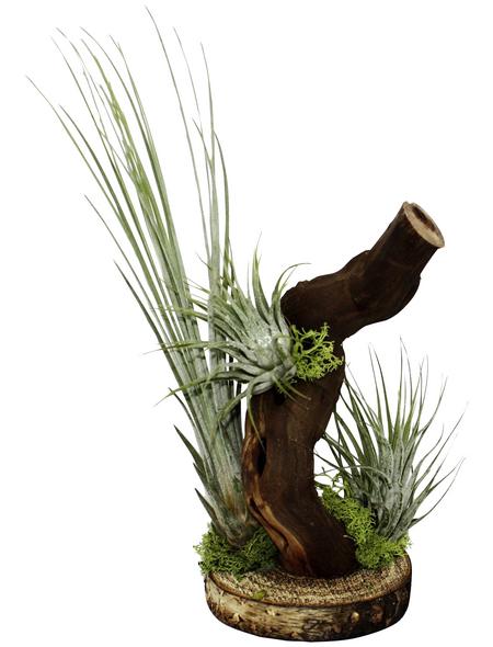 Luftnelke auf Wurzelbaum, Tillandsia, 3 Pflanzen