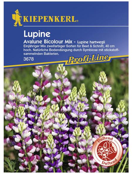 KIEPENKERL Lupine, Lupinus hartwegii, Samen, Blüte: mehrfarbig