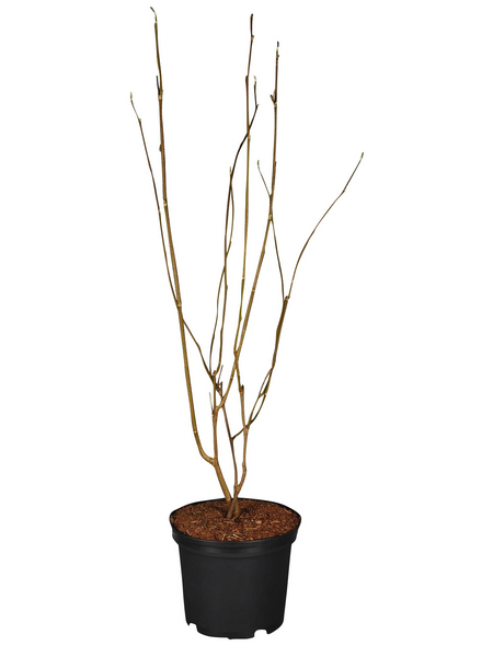 GARTENKRONE Magnolie Magnolia liliiflora »Susan«