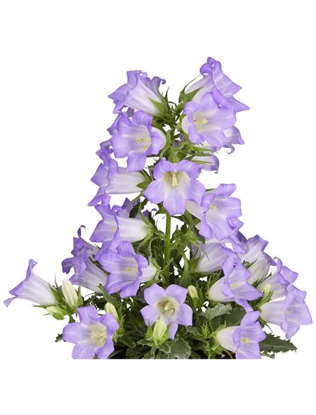 GARTENKRONE Makedonische Glockenblume, Campanula formanekiana »Mary Mee Blue«, Blüte: blau