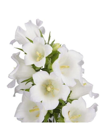 GARTENKRONE Makedonische Glockenblume, Campanula formanekiana »Mary Mee White«, Blüte: weiß